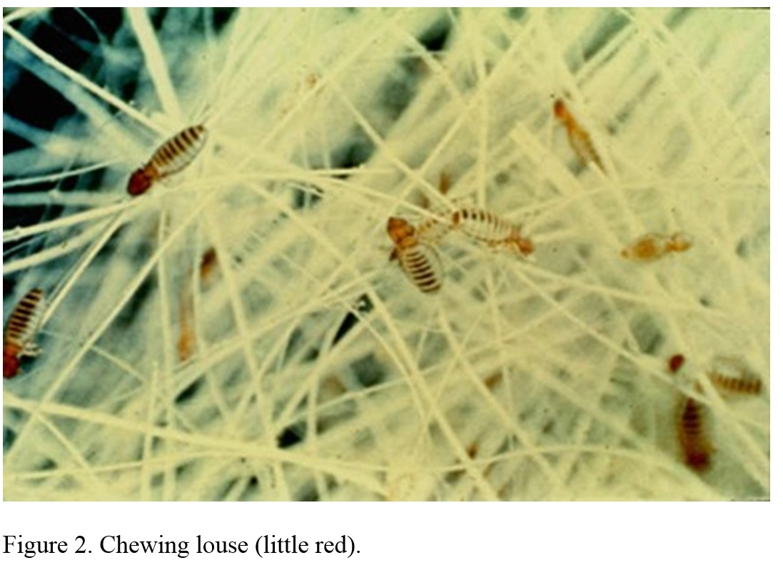closeup photo of little red chewing louse in hair