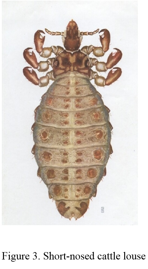 closeup photo of short-nosed cattle louse