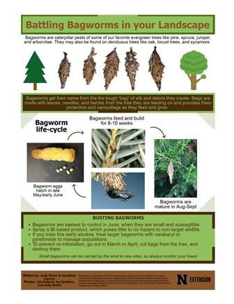 Battling Bagworms in your Landscape