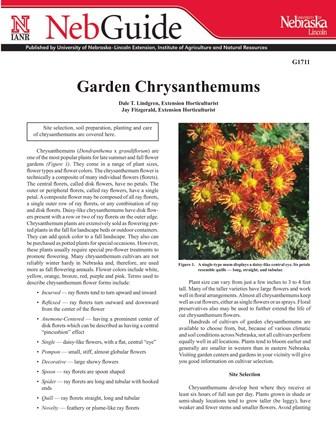 Garden Chrysanthemums (G1711)