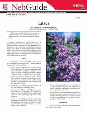 Lilacs (G1860)