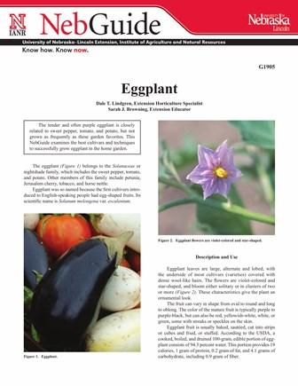 Eggplant (G1905)