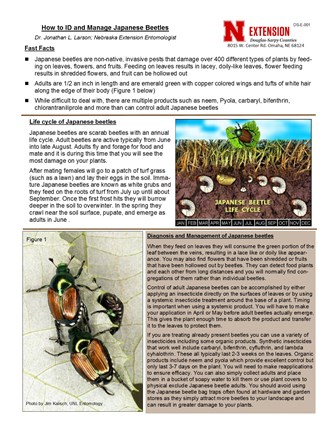 How to ID and Manage Japanese Beetles