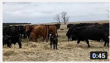 Cow/Calf Operations Continue at the Eastern Nebraska Research and Extension Center during Pandemic
